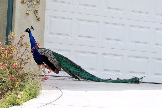 I finally been able to take a photo of the wild horny peacocks running around my house!!😍😍 https://t