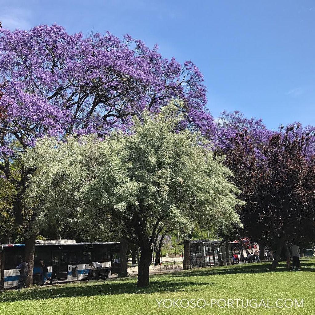 test ツイッターメディア - 新緑とのコントラストが美しい、エドゥアルド7世公園のジャカランダ。 #リスボン #ポルトガル https://t.co/51eL7pE5V3