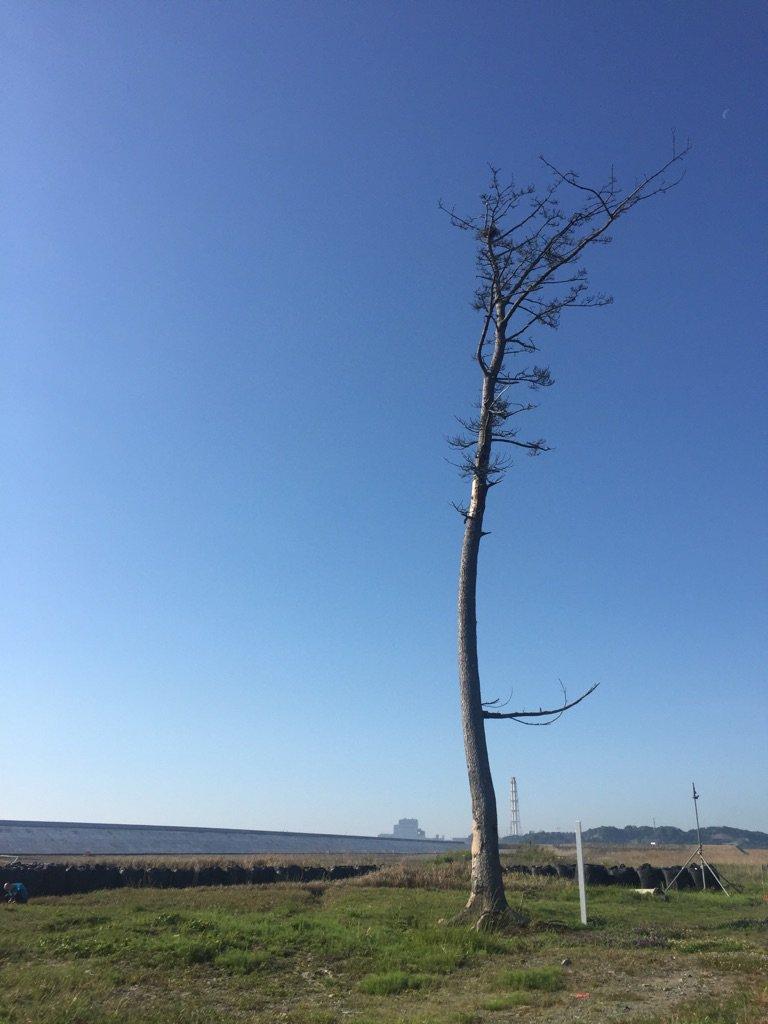 南相馬鹿島の奇跡の一本松。今年の冬には防災林整備のため伐採されるそう。いっぽん松太郎wお疲れさま、頑張ったね。二世が継い