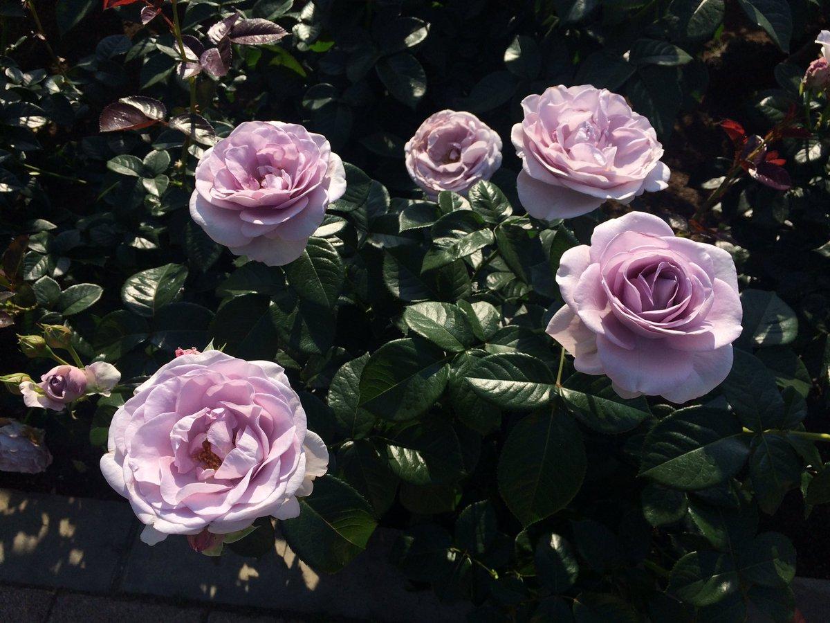 紫のバラ見たら…ガラスの仮面思い出すのは世代丸出しですか? (^^;;