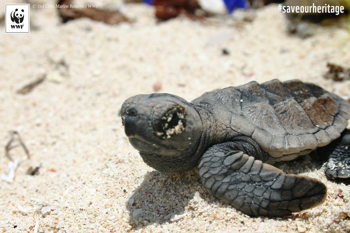 test Twitter Media - Sea🐢s of Belize need your voice! Ask for stronger protection of their habitats this #WorldTurtleDay: https://t.co/YzsI97hicA https://t.co/fOz6euqm2M