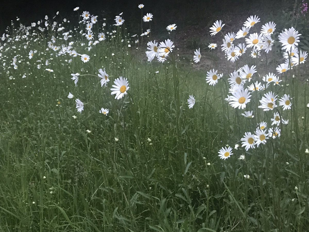 Finally!! After 2 Years it's Flowering from the seeds we Sprinkled #OxeyeDaisyMeadow ???????????? https://t.co/EiacGo4ULy