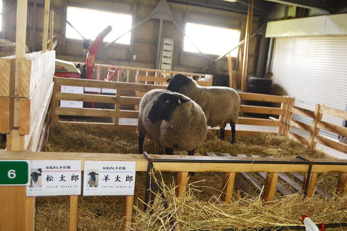 (´-`).。oO(次は種めん羊♂「松太郎」「羊太郎」「ベイ」「ちび」の毛刈りです…!)#北海道 #滝川市 #松尾めん羊