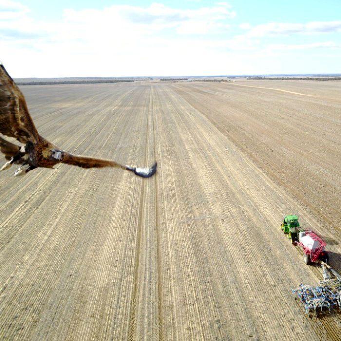 Wedge-tailed eagle takes down drone over WA wheat farm