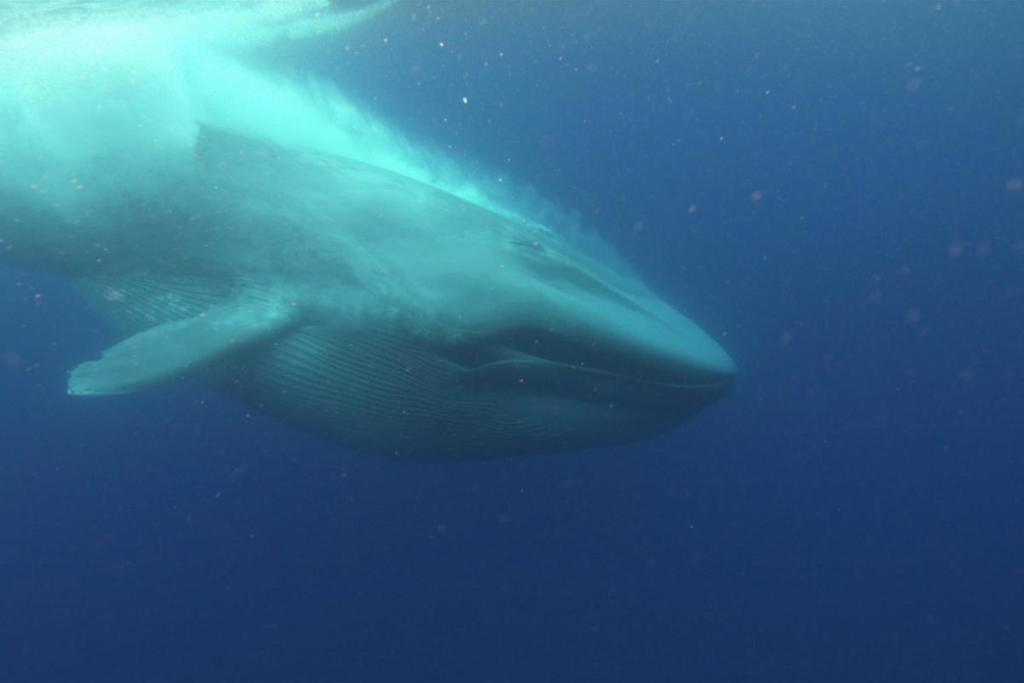 Blue whales evolved into giants when 'climate change turned them into binge eaters'