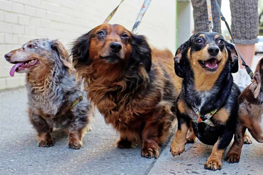Dog walkers may face maximum limits under proposed new laws