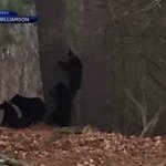 Bear family in Hanover to be caught, euthanized