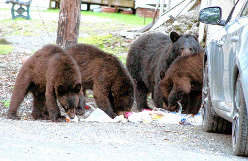 N.H. Fish and Game plan to kill family of bears near Dartmouth College faces backlash