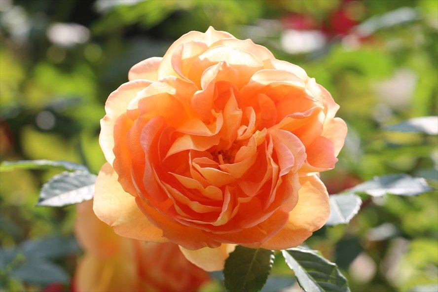 English Roses (David Austin Roses) 'Lady of Shalott' バラ(ER)