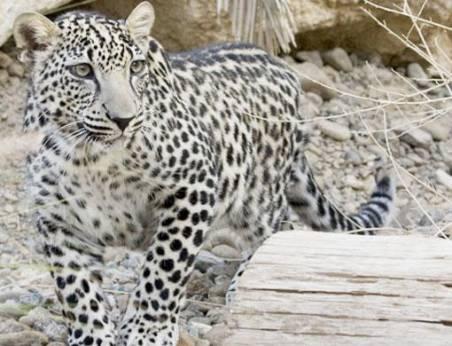 Leopard population crashing in South Africa region