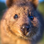 Teen pleads guilty to kicking quokka after video uploaded to Snapchat