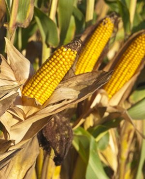 All not rosy for SA maize exports - expert
