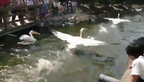 test ツイッターメディア - 【動画リ】ペリカンの発着水がかっこいいと話題に! 迫力あるな! https://t.co/49124PKppZ https://t.co/iFv7WGAB2k
