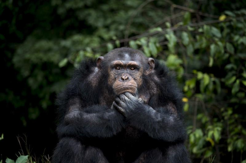 Chimps are not people, cannot be freed from custody: New York court