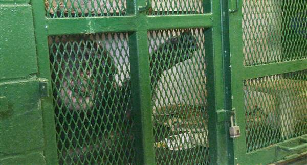 Chimps Kiko and Tommy don't have the rights of people, New York court rules
