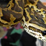 Florida woman finds python while doing laundry