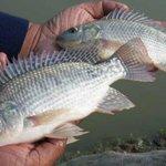 FAO raises an alarm over Tilapia Lake Virus