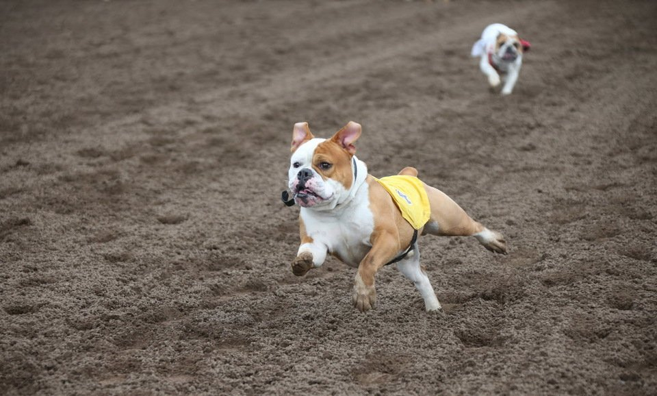 Running of the bulldogs at Canterbury