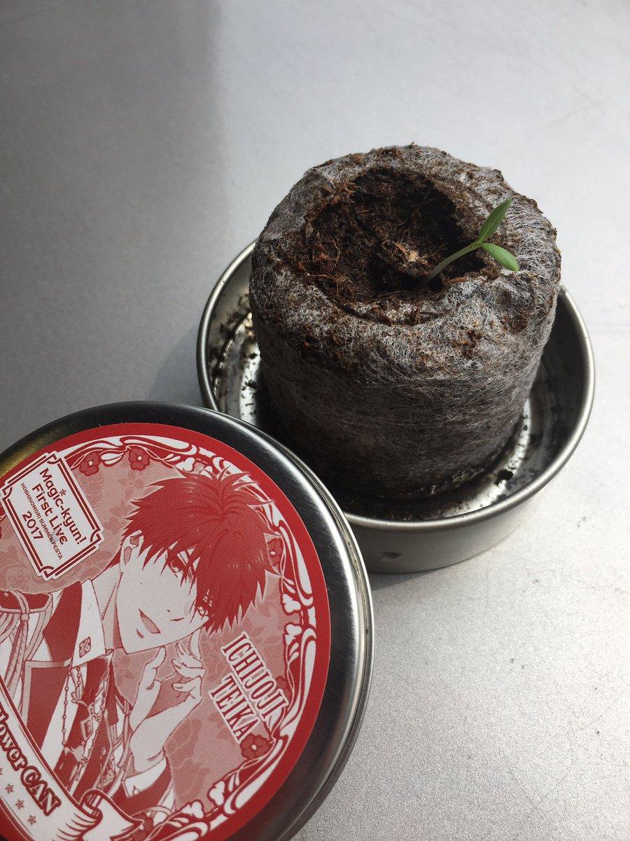 【商品紹介】先日のライブから育てはじめた、帝歌のリトルフラワー缶(フロックス)から芽が出ました!フロックスの種蒔き時期は