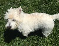 Duff is a 11 year old West Highland White Terrier. He is pure bred (with papers!). #available #westie https://t.co/e8n0Q9ob0u