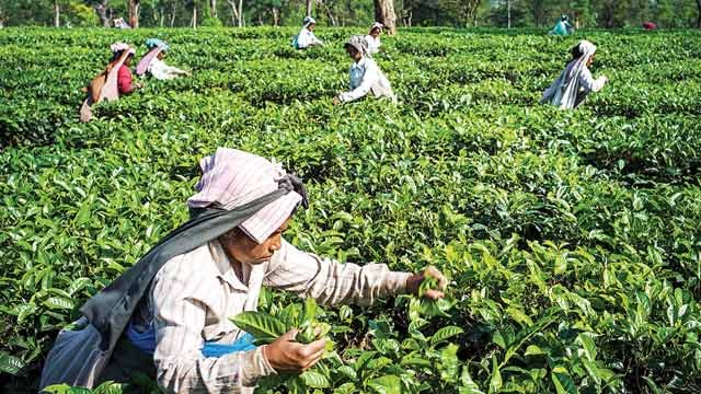 Storm in your cup: Tea prices to rise sharply, may end the 3-year lull
