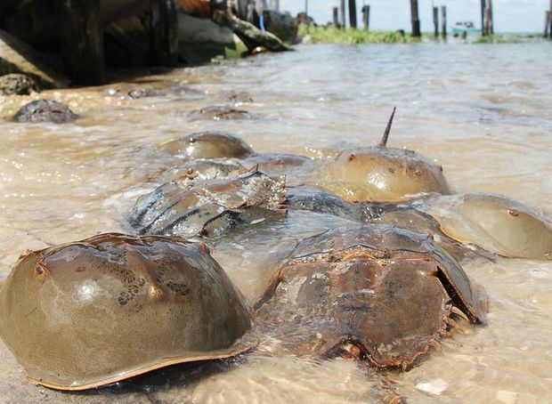 Thousands of stranded horseshoe crabs reportedly rescued along N.J. bay