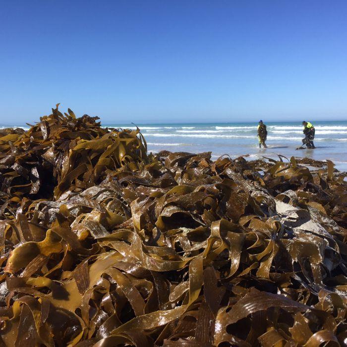 SA chef harvests seaweed illegally to keep native ingredient on menu
