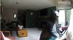 Bear breaks into house and plays piano. https://t.co/o6yQf1uPh9 https://t.co/GvqCM83f9w