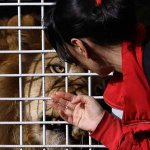 2 lions, freed from circuses, are poached in Limpopo