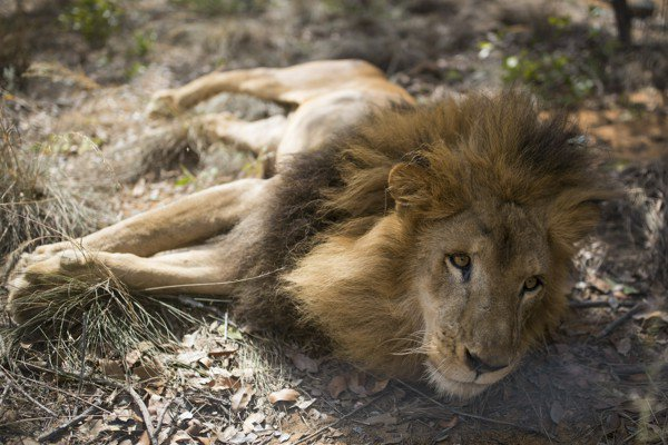Poachers kill freed circus lions in South Africa