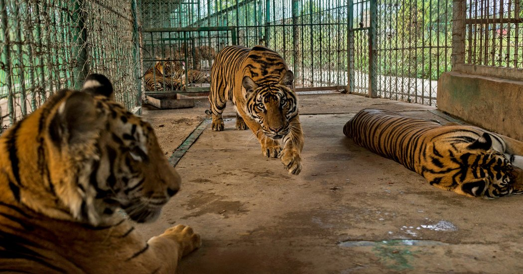 Animal Farms in Southeast Asia Fuel an #IllegalTrade in #RareWildlife https://t.co/zk411LzEGV https://t.co/nMdOoF9ssS