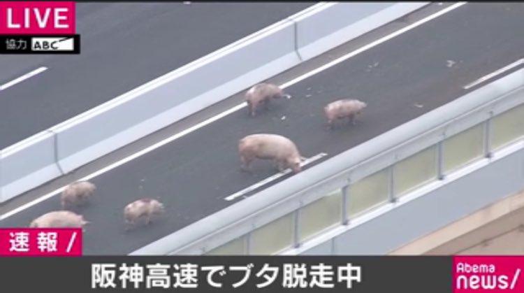 test ツイッターメディア - 阪神高速道路の豚、みこちゃんがかわいすぎた時のわいやん。荒ぶり過ぎて脱走したんだな、わかる。 https://t.co/MvRbPM4nJ0