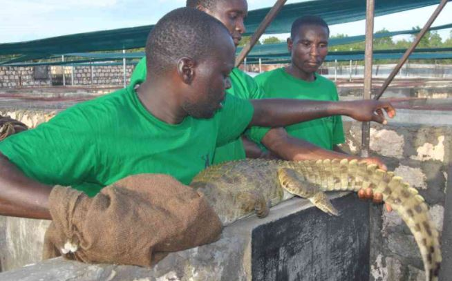 Only in Kenya: Two Suspects Arrested for Stealing Crocodiles in Malindi