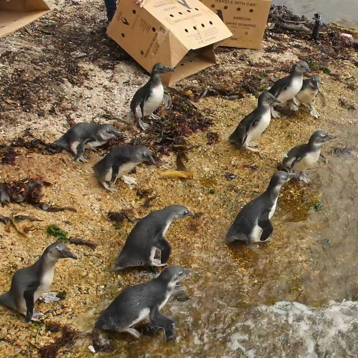 Watch as these rescued African penguins are reintroduced to the wild ??