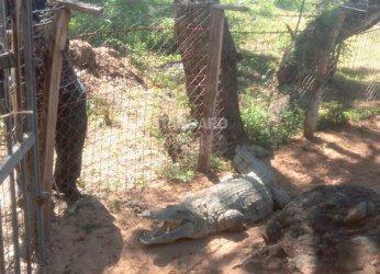 Men arrested for stealing crocodiles in Malindi
