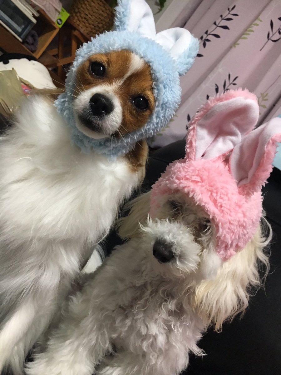 やっとガチャ発見!!うさぎピンクをgetやっとふたり揃って写真撮れた😊#dog #犬 #パピヨン #トイプードル #ノル