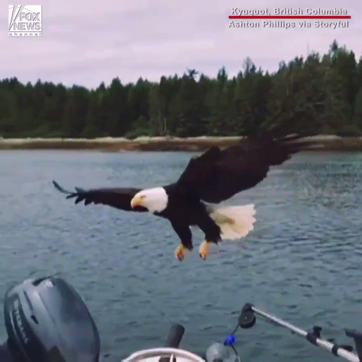 Incredible video shows bald eagle steal salmon off boat