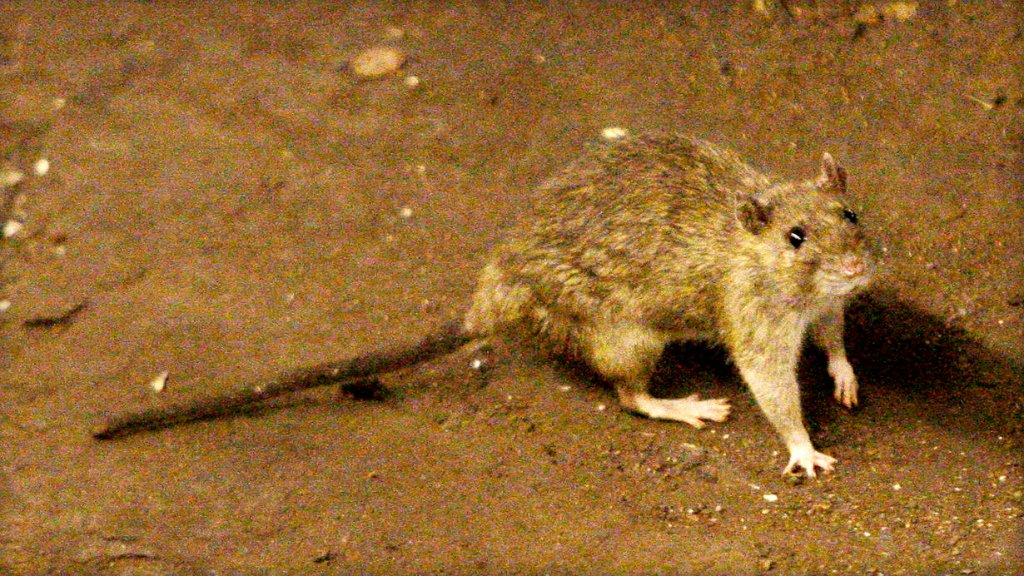 Why researchers are looking to pay New York residents with rat-infested apartments: