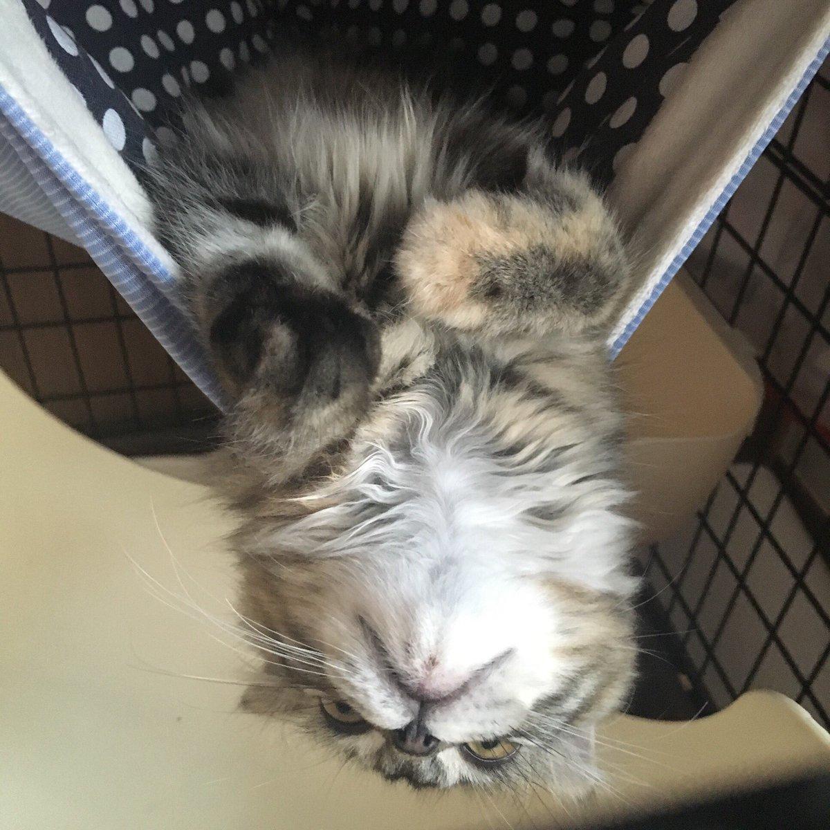ジバニャン…#猫好きさんと繋がりたい #猫部 #スコティッシュフォールド #猫 #妖怪ウォッチ #ジバニャン
