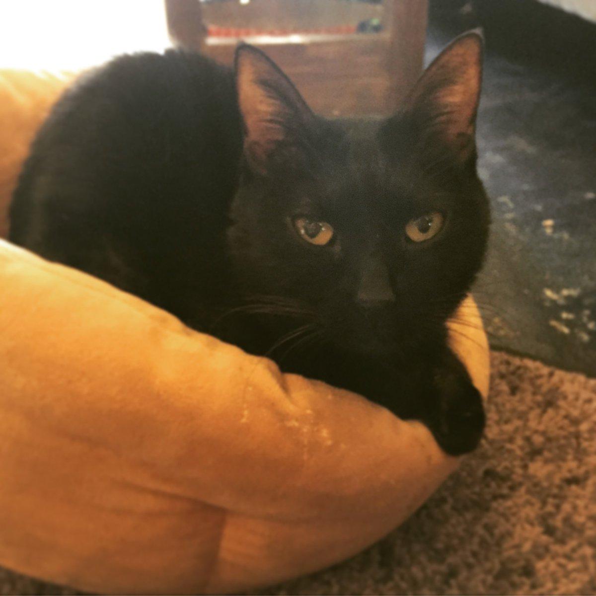 【おうちごはんcafeたまゆらん 猫店員紹介】名前:アロマ 小柄な漆黒の女王様、アロマ嬢。2016年で8歳。ほかの猫達と