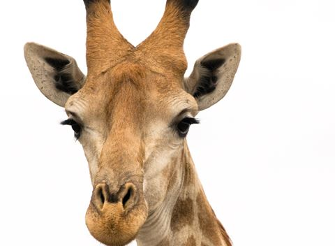 Port Lympne Reserve celebrates World Giraffe Day and you could win a stay at Port Lympne too