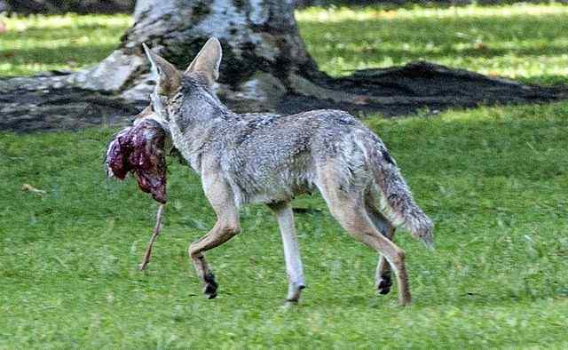 How do coyotes thrive in Southern California? Scientists dissect 200-plus carcasses to find clues