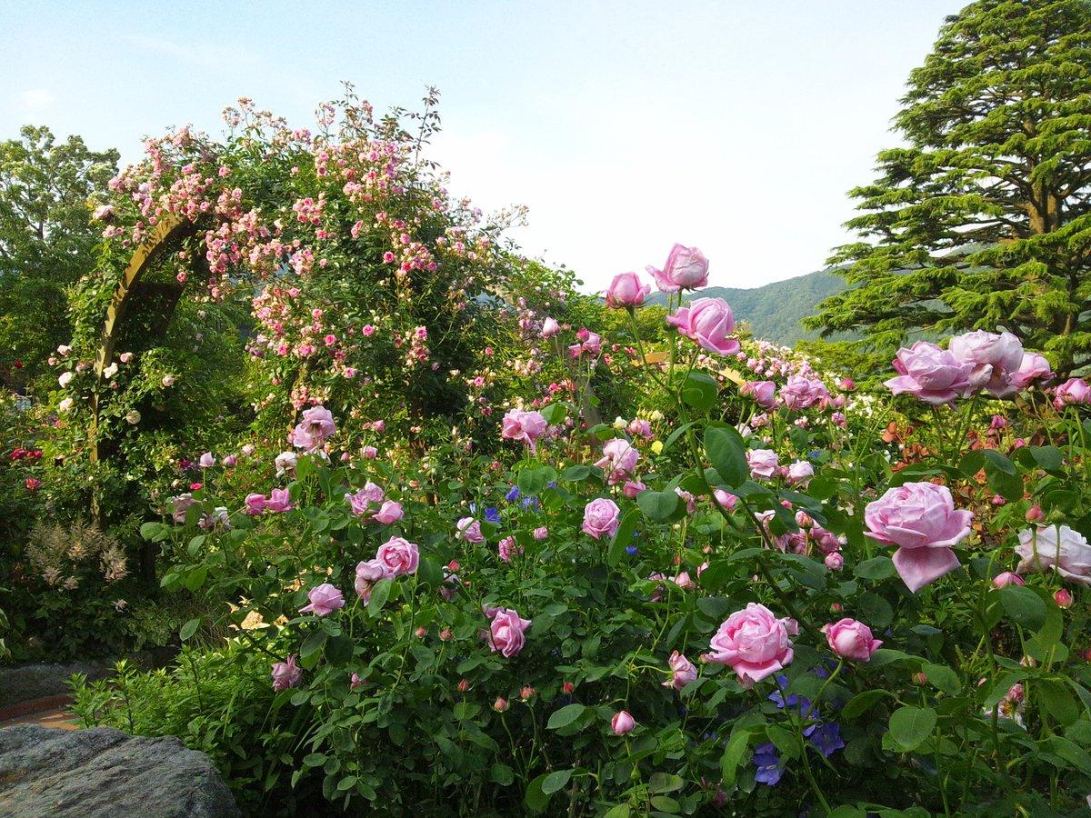 同日、飛んで久しぶりのハコネちゃん。強羅公園は今がバラの見頃です。