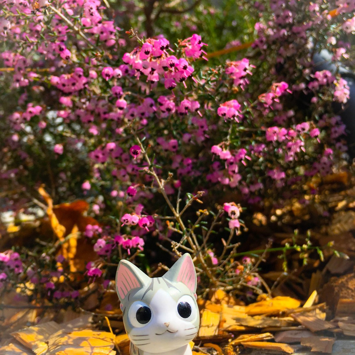 ポカポカようきの日は おさんぽが はかどるんら。お花も 咲くのが はかどってうんらよ。#こねこのチー #チーズスイートホ