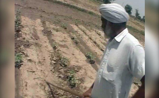 Punjab Cotton Farmers' Dilemma: Despite More Crop Yield, Profit Is Meagre