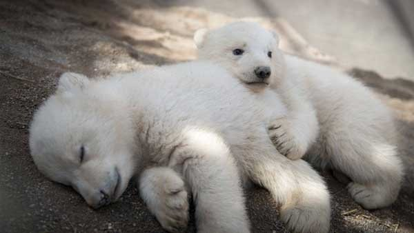 DNA from Columbus Zoo's polar bears used in fight against poaching