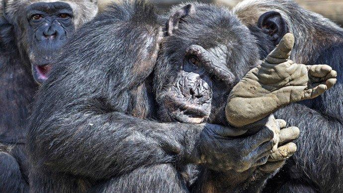 Monkey Trial: Chimpanzees aren't people, New York court