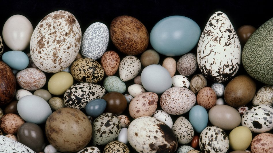 How do eggs get their shapes? Scientists think they've cracked it