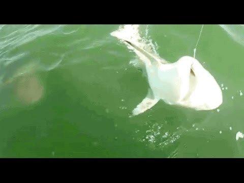 ютуб видео акула и окунь