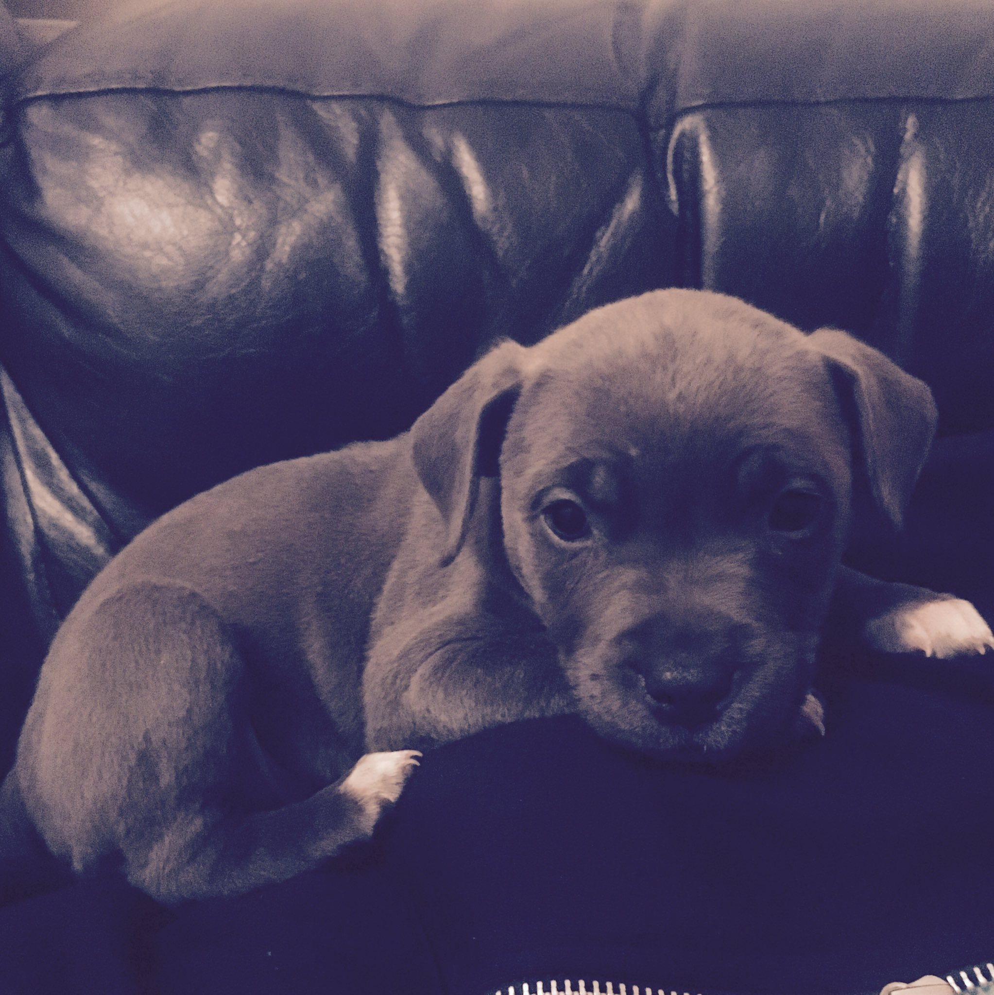 #trendinglive Lottie the Staffordshire Bull Terrior. 9 weeks, full of mischief! Don't be fooled by the cuteness 😂 https://t.co/WLlOsuRxEa